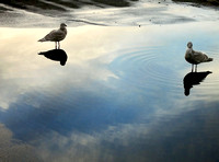 Gulls in a Puddle